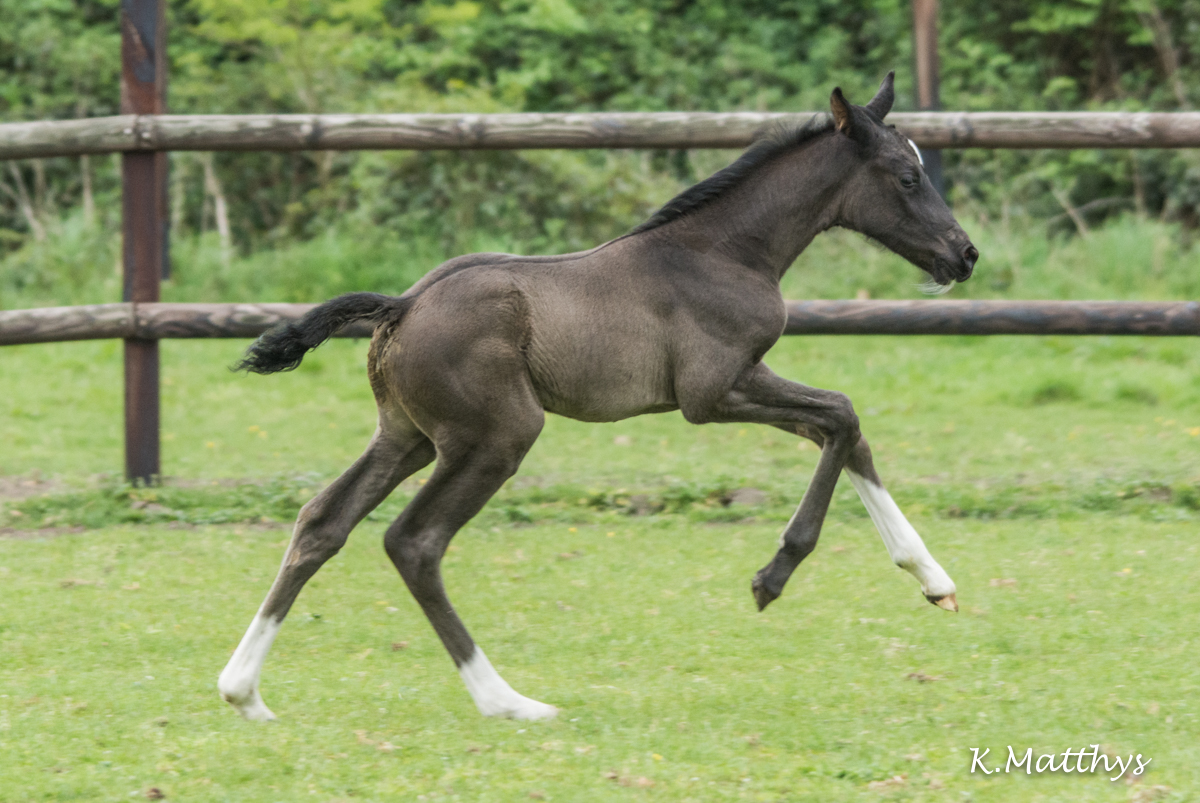 Kannan's Diamond v/h Gouden Bit Z :  A filly out of Kannan x Diamant de Semilly x Cassini !