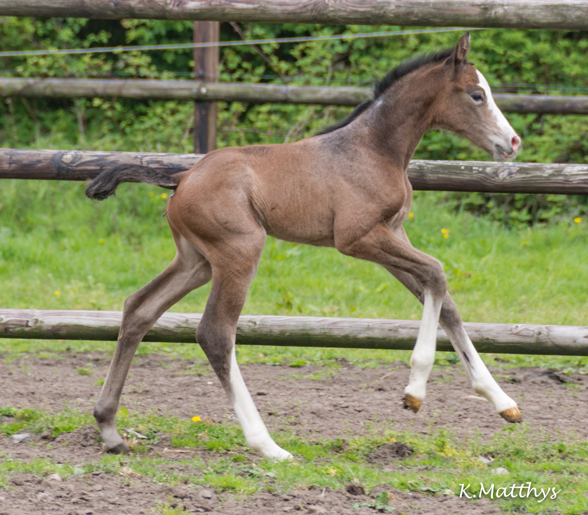 COUP DE FOUDRE v/h Gouden Bit Z : a second filly now out of Casago x Cooper v/d Heffinck x Clinton !