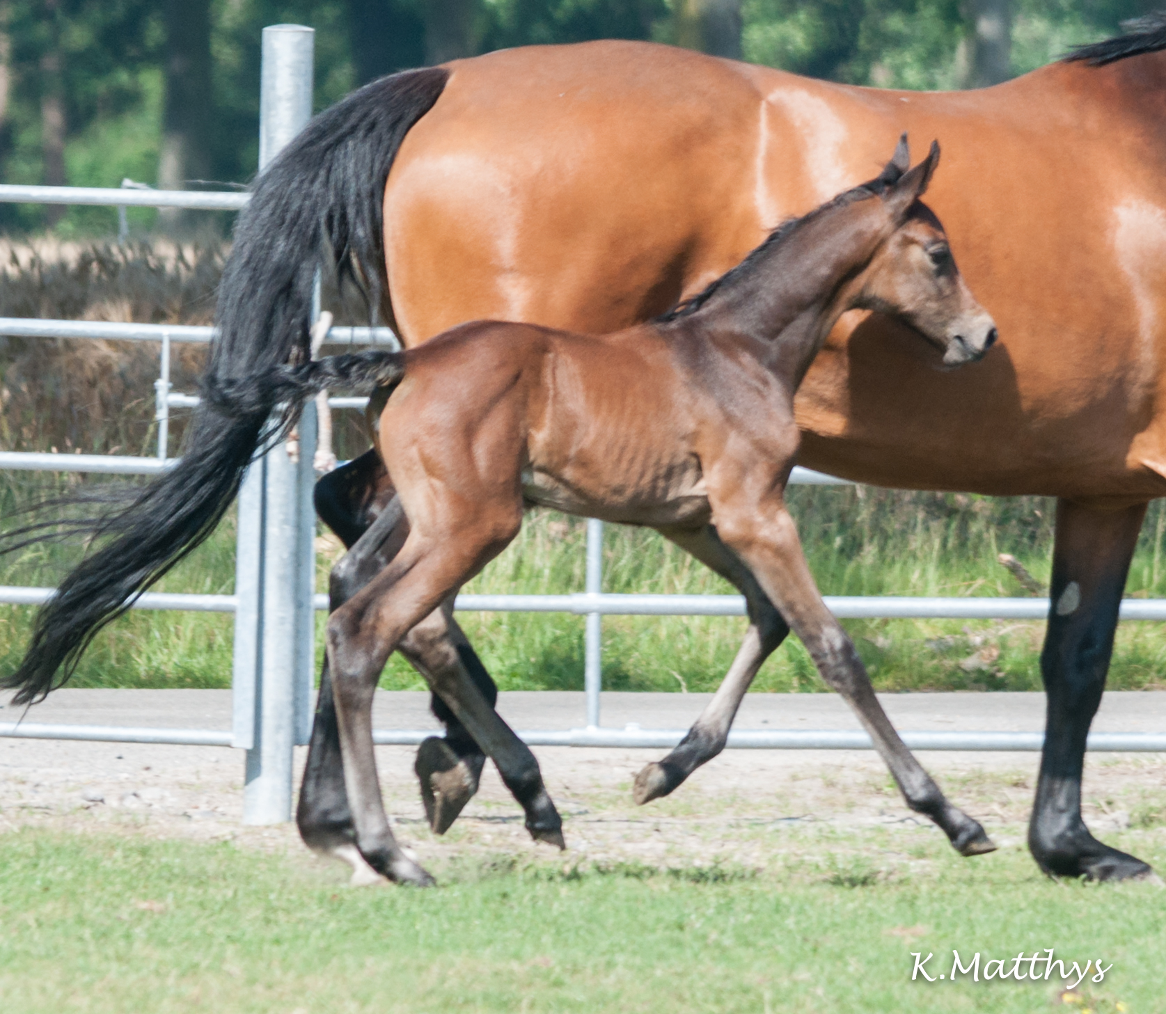 Een pareltje : CHARISMA v/h Gouden Bit Z ! (Clearway x Contender x Caletto I x Lord).